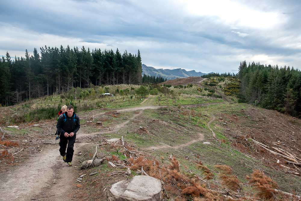 Ashley from Backyard Travel Family backpacks Kipton in a chidl carrier, through the logged forest on the Packhorse Hut Track from Gebbies Pass, Christchurch NZ
