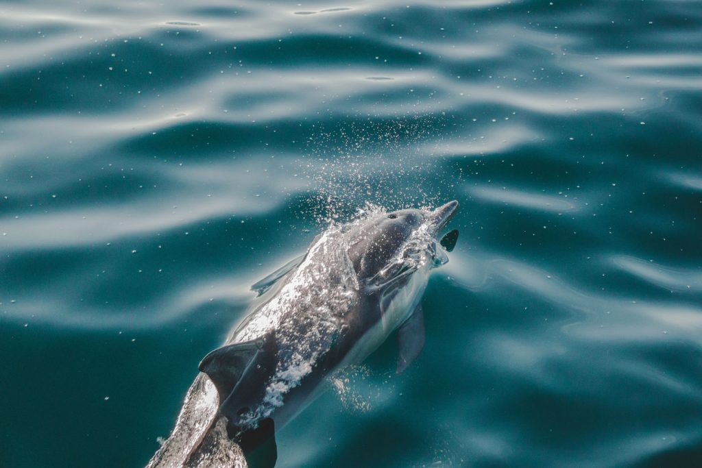 Dolphin swimming in the water