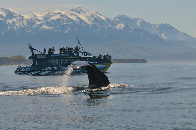 A whale flicks his tail up in front of tourists on the Whale Watch Kaikoura boat on a New Zealand winters day