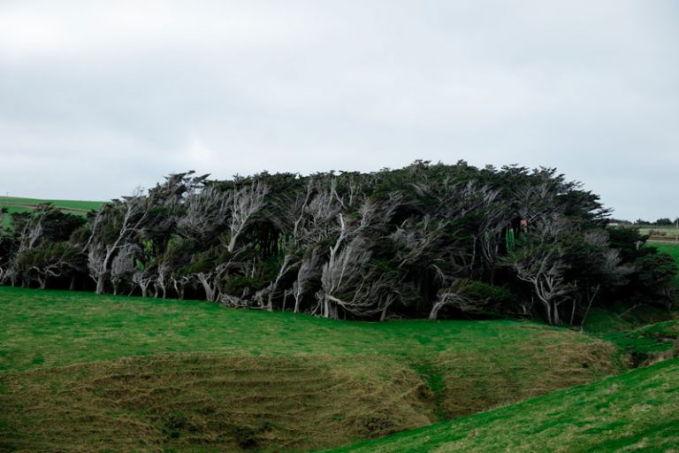 Crazy wind swept trees at Slope Point, the Southern most point of the South Island, New Zealand